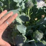 Broccoli at Wild Harvest Experience Market